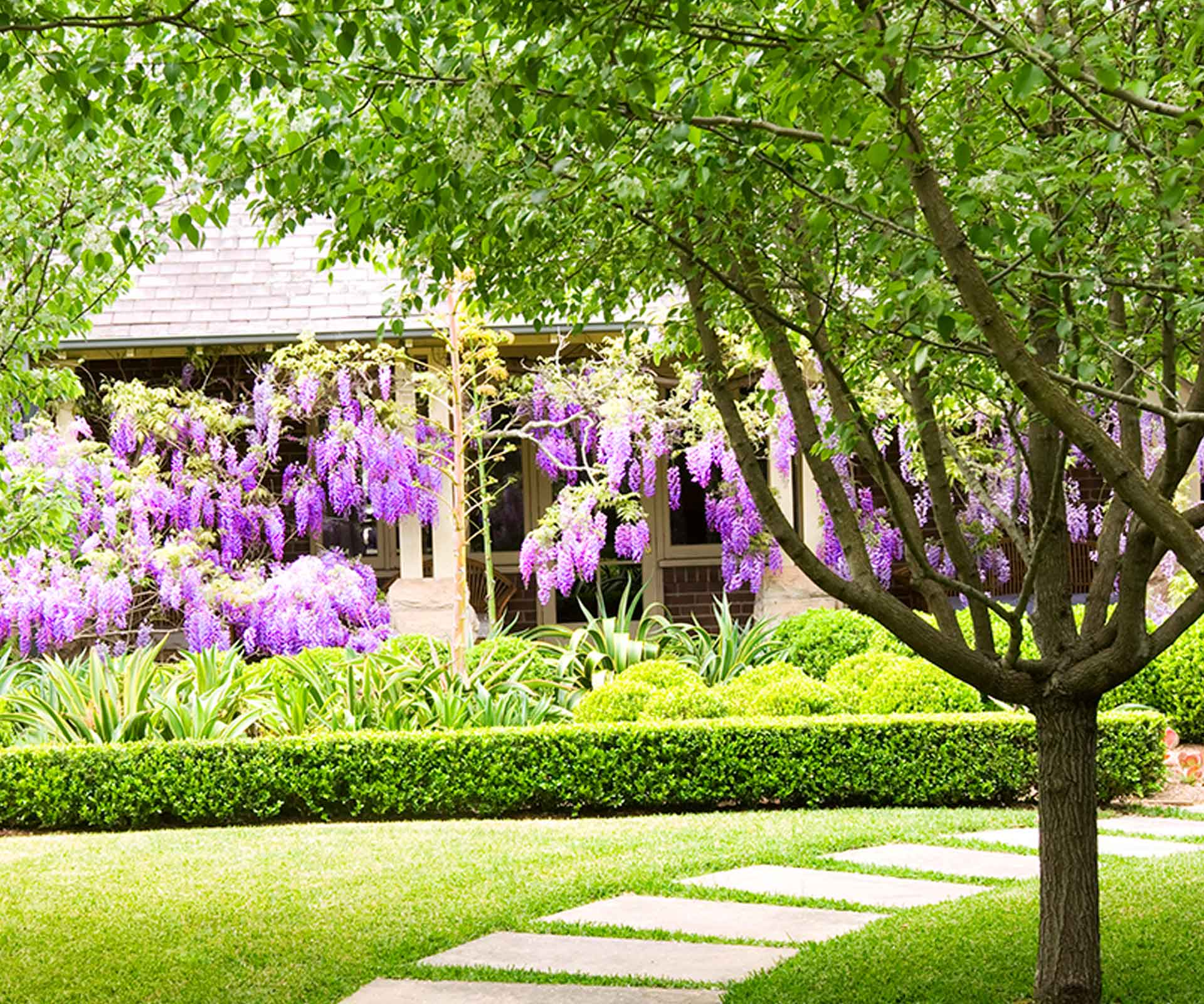 Wisteria plant guide: Types, climate and pruning