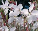 Plant guide: Gaura (butterfly bush)
