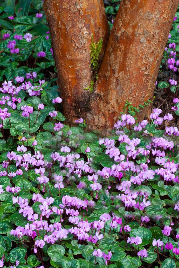 Planting cyclamen in a sheltered spot beneath a tree is perfect for providing dappled sunlight in summer and winter.