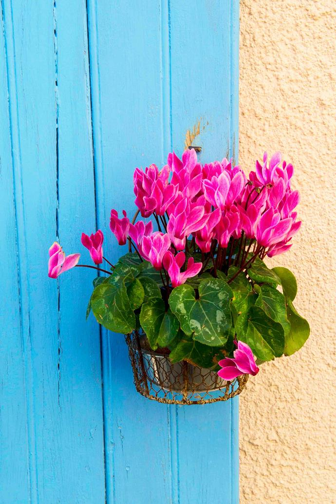When choosing a potted cyclamen, look for a tuber that protrudes above the surface of the soil.