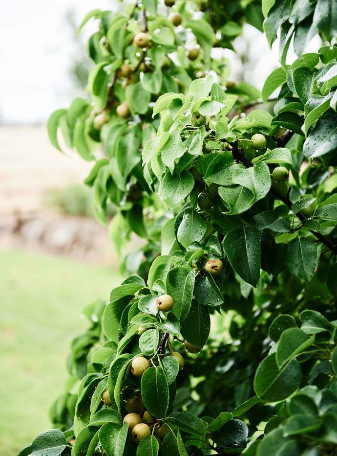 "A medlar tree in the garden. [Medlars](https://www.nowtolove.com.au/lifestyle/homes/how-to-start-an-orchard-15447|target=""_blank"") are an old fashioned fruit tree that can withstand cold temperatures as well as drought conditions. They are best eaten ripe."