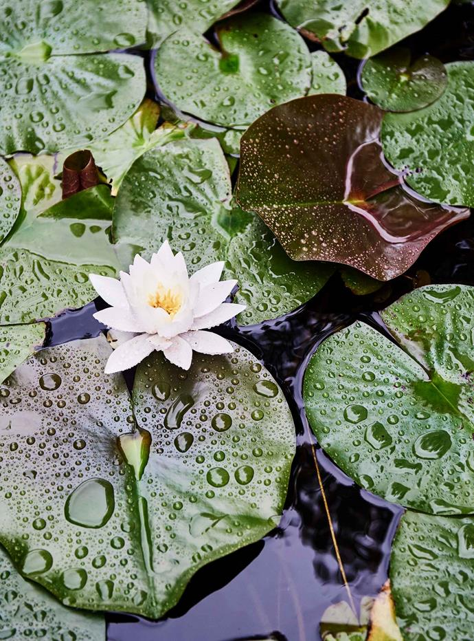 "[Water lilies](https://www.homestolove.com.au/how-to-grow-water-lilies-9991|target=""_blank"") in the courtyard garden pond."