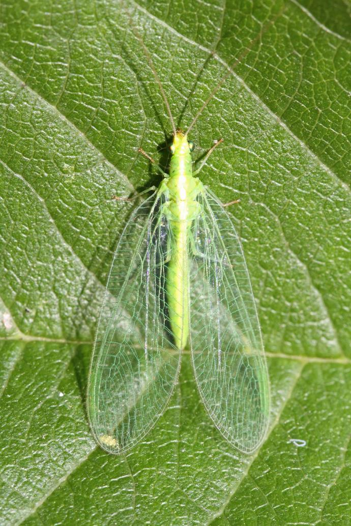Lacewings are a beneficial insect that can be introduced to your garden to control caterpillar populations.