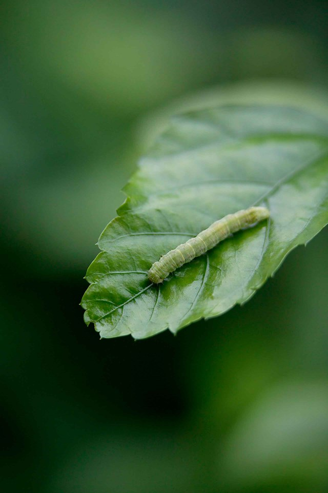 One of the most common caterpillars you'll find in the vegie patch is the green larvae of the cabbage white butterfly.