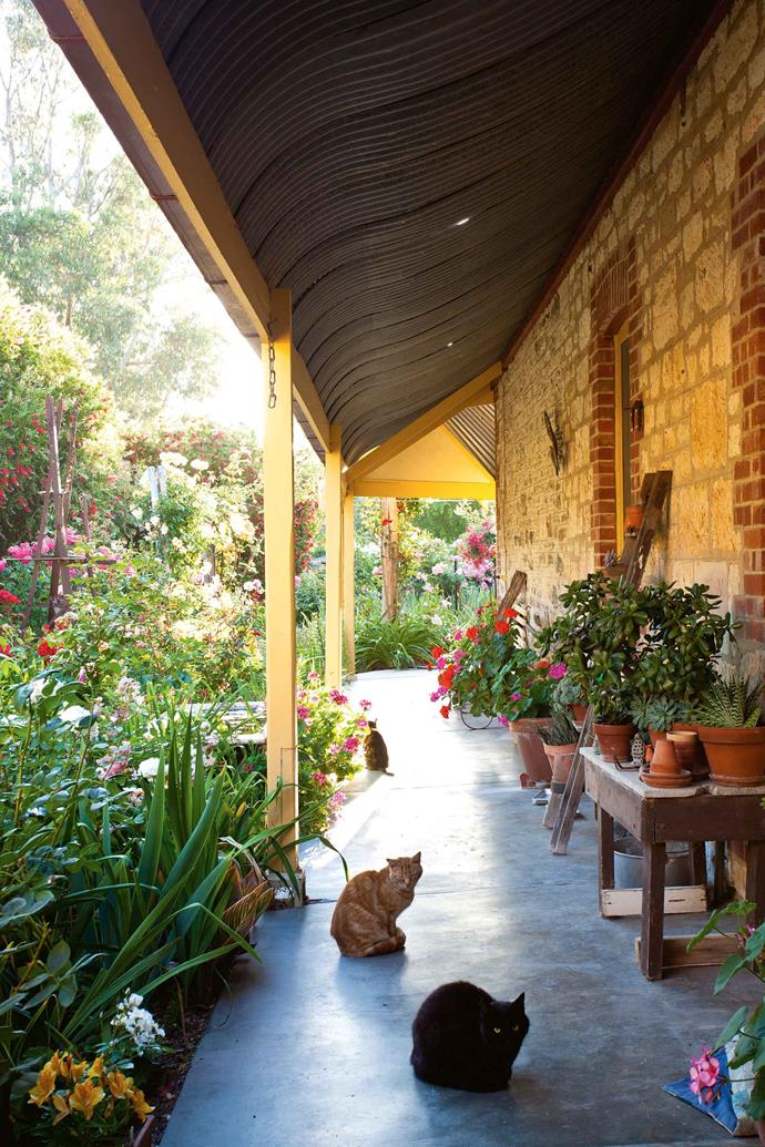 "Sooty (front), Baby Puss and Tiger (at rear) enjoy the shade on the concrete verandah that links the newer and original parts of the house. ""I began planting conifers, callistemons, Chinese elms and eucalypts, and mowed the grass in between,"" Alex says. ""We cut down the conifers and gums in 2009 and 2010; by then they took up too much room and were becoming a fire hazard. I have replanted with prunus and crabapples for light shade, and just to keep a sense of coolness in the garden."