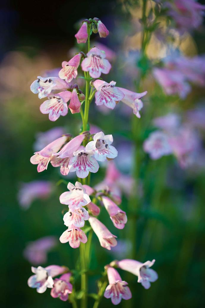 Pink penstemon.