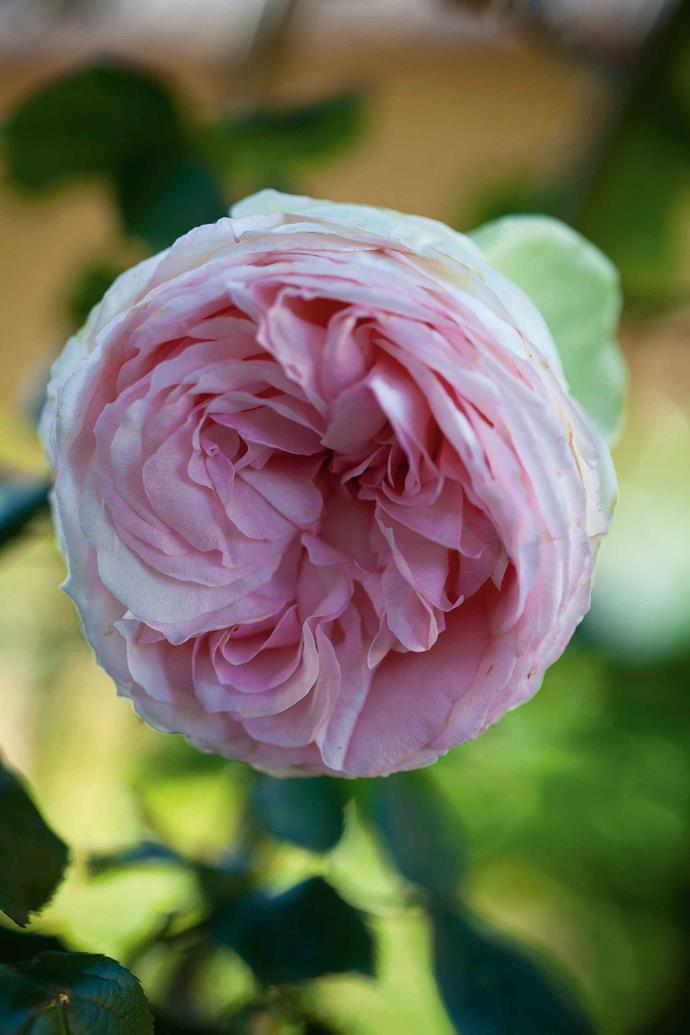 A 'Pierre de Ronsard' climbing rose.