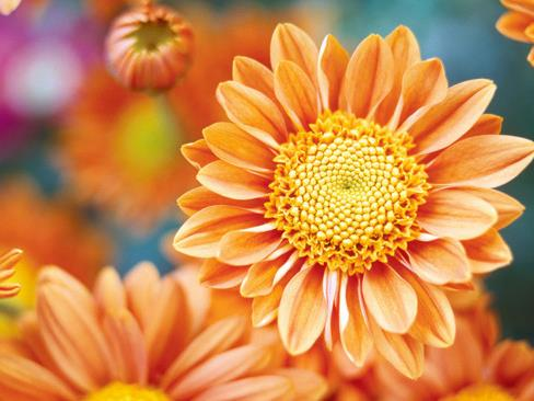 Plant guide: Chrysanthemums | Australian House and Garden