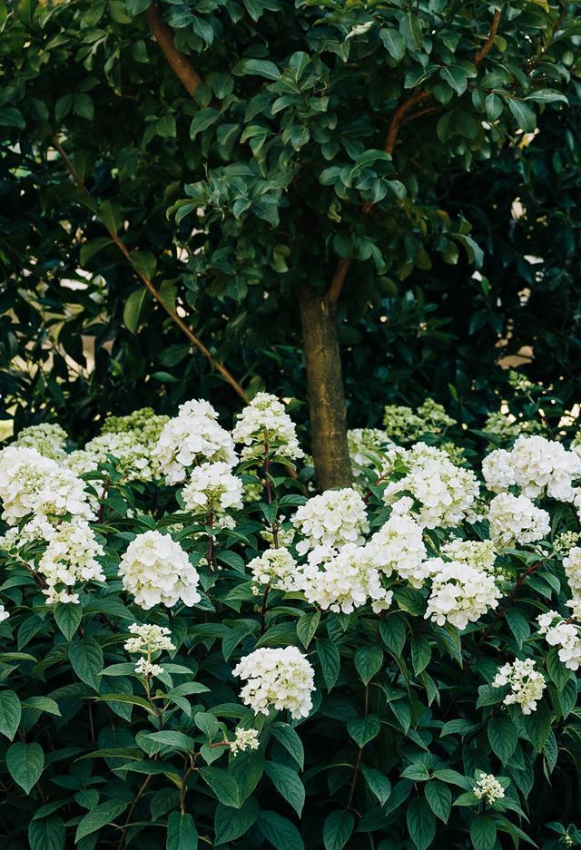 Hydrangea 'Sundae Fraise'