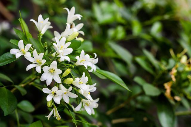 Murraya (Murraya paniculata)