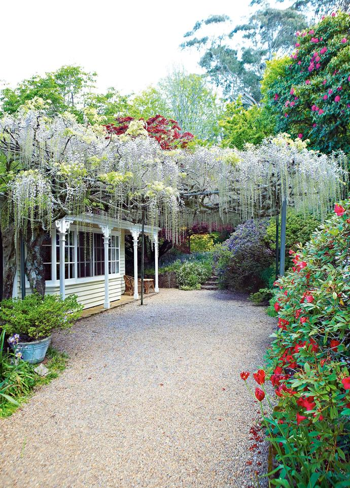 """For sheer beauty, the 'Macrobotrys' is my favourite,"" Tony says. ""The flowers are small and ethereal, and the drop of the pendant racemes is more than a metre."" A 90-year-old specimen drapes itself over the pergola outside the house, a curtain of purple petals above the gravel drive."
