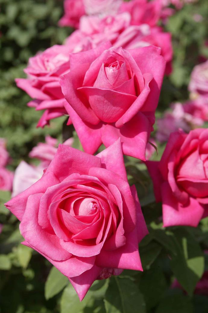 There are many different types of rose fragrances, and one rose's smell can change multiple times a day!