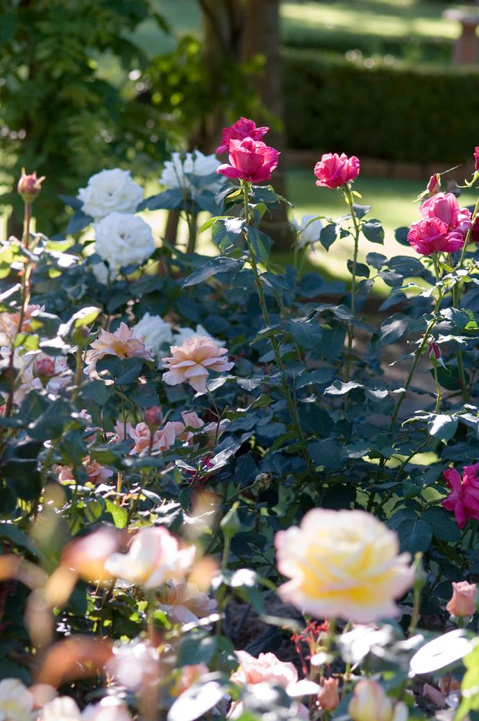 Roses love soil that is rich with organic matter. Applying compost and manure will allow them to produce the best blooms.