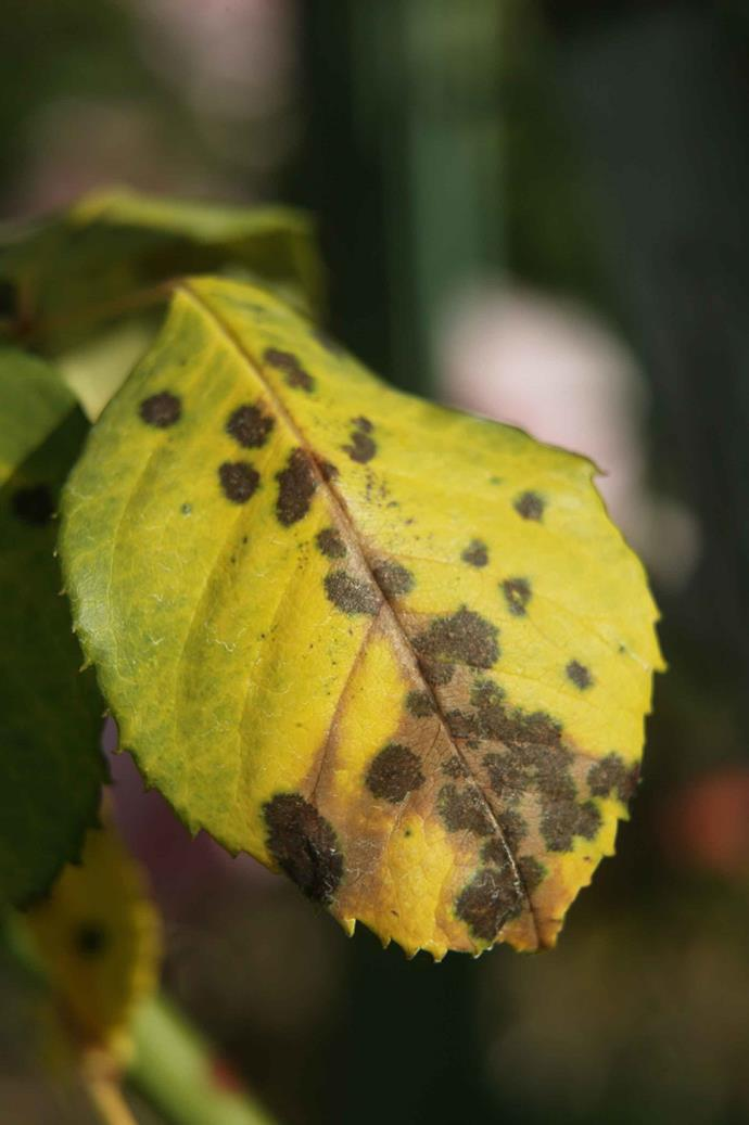 If your rose plant has yellow leaves with black spots, it could be a sign that it affected by Black Spot Fungus.