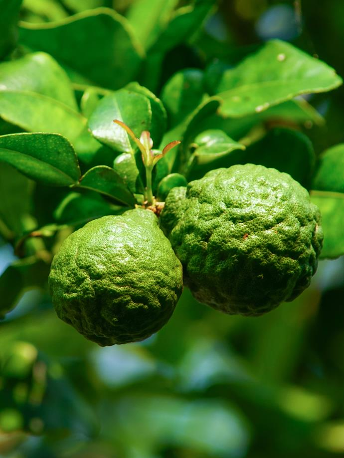 Kaffir limes are easily recognisable thanks to their heavily dimpled fruit, which ripen to a yellow colour.