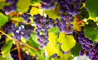 Purple grapevines
