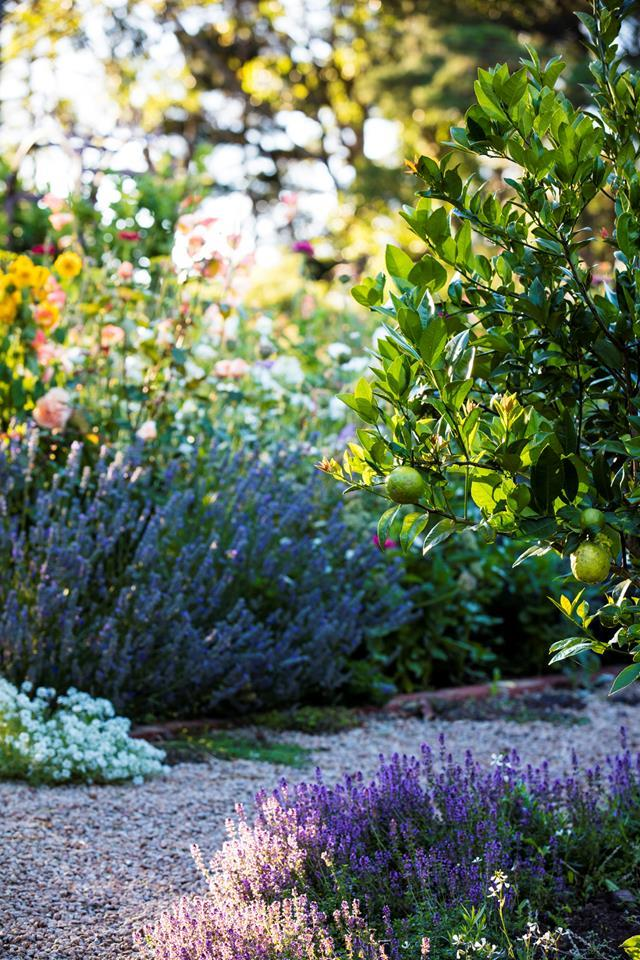 Lemon thyme and English lavender edge the gravel pathway with clumps of purple. A heavily laden 'Lemonade' tree hangs over the path.