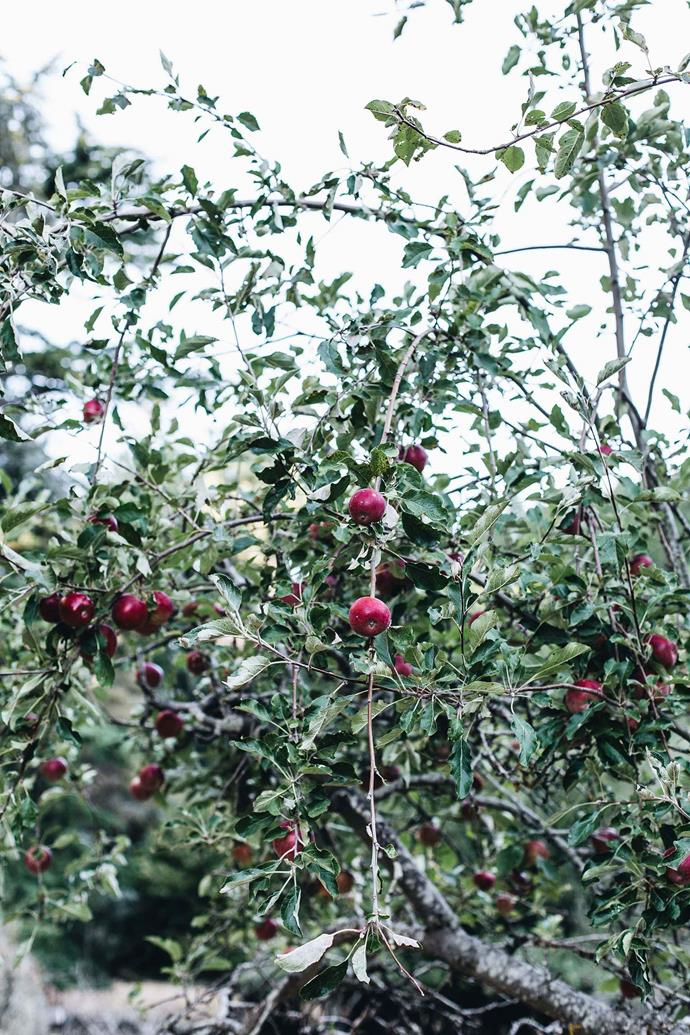 Apples ripening on the tree.