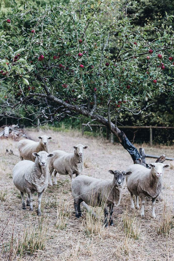 Sheep under old apple trees at the family property.