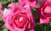How to grow and plant roses like an expert