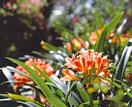 Tips for growing clivias from planting to pruning and more