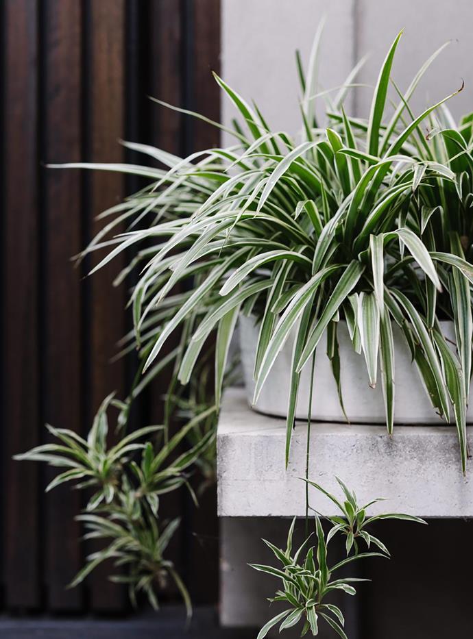 Variegated spider plant (Chlorophytum comosum 'Variegatum').