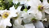 Plant guide: Clematis
