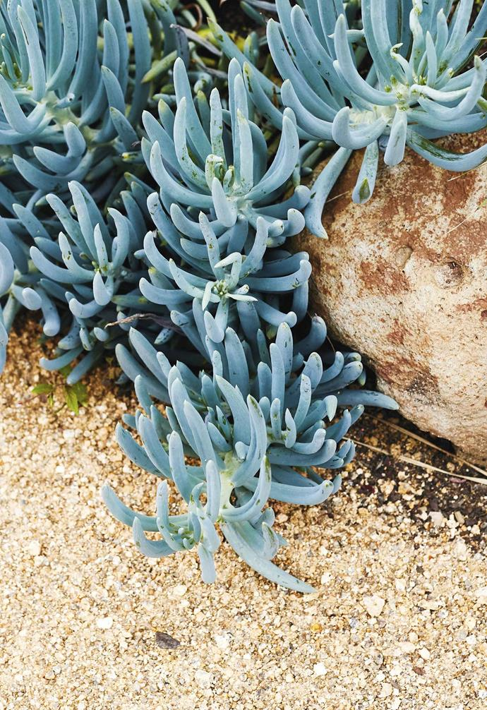 **Plant palette** *Senecio serpens* are a hardy plant for coastal gardens.