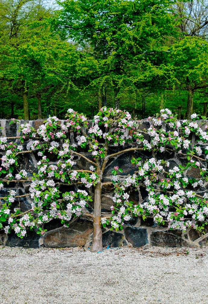Espalier is a creative way to create a striking visual feature in the garden.