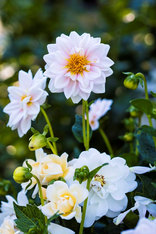 "**Dahlia** This is a perfect pink [dahlia flower](https://www.homestolove.com.au/plant-guide-dahlias-9992|target=""_blank""). Dahlias are planted in spring to flower in gardens from summer to autumn. Cut flowers are available from spring until autumn."