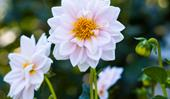 Plant guide: Dahlias