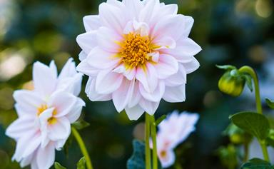 Plant guide: Dahlias