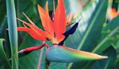 Plant guide: Bird of paradise