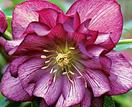How to grow Hellebores (Winter Rose)