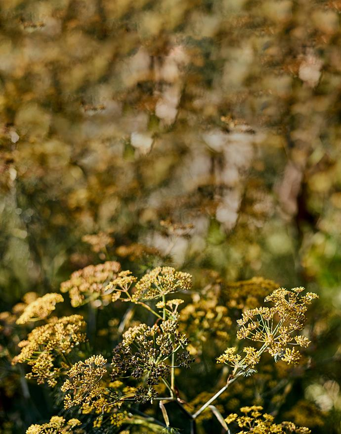 Golden light falls on the just-opening flowerheads of Limonium.