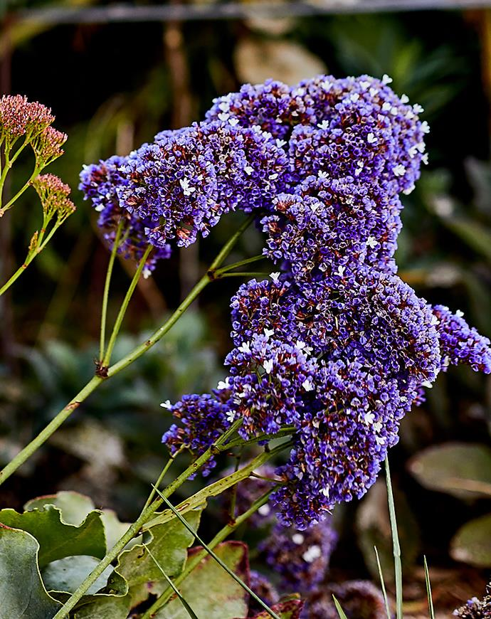 Limonium in full flower.