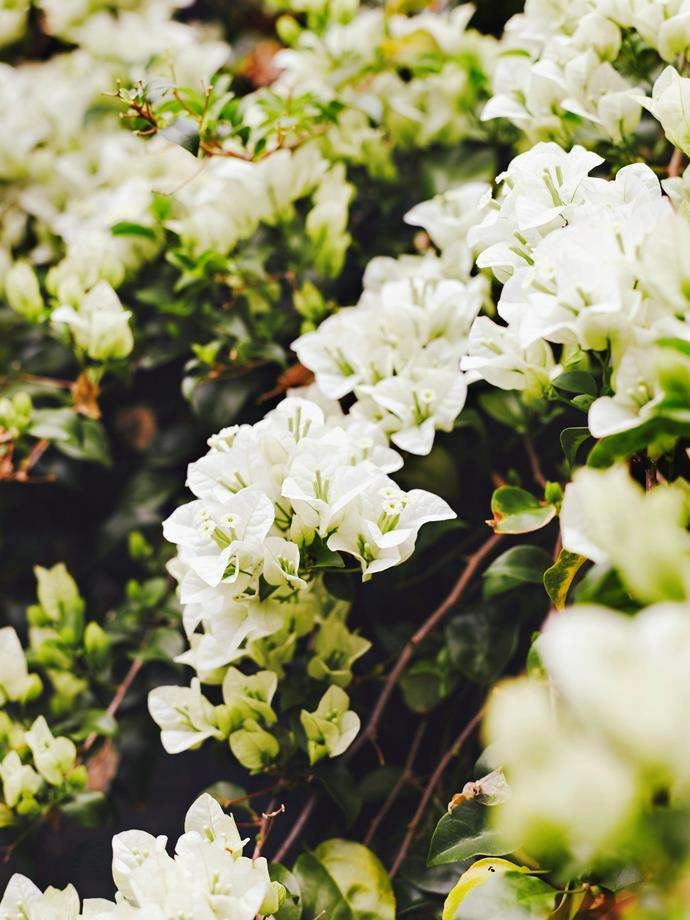 White flowering bougainvillea is a popular choice for coastal or Hamptons-style gardens.