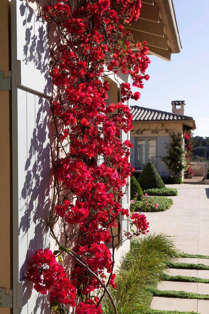 Bougainvillea is a sun loving plant that will provide a pretty pop of colour against a back fence or garden shed.