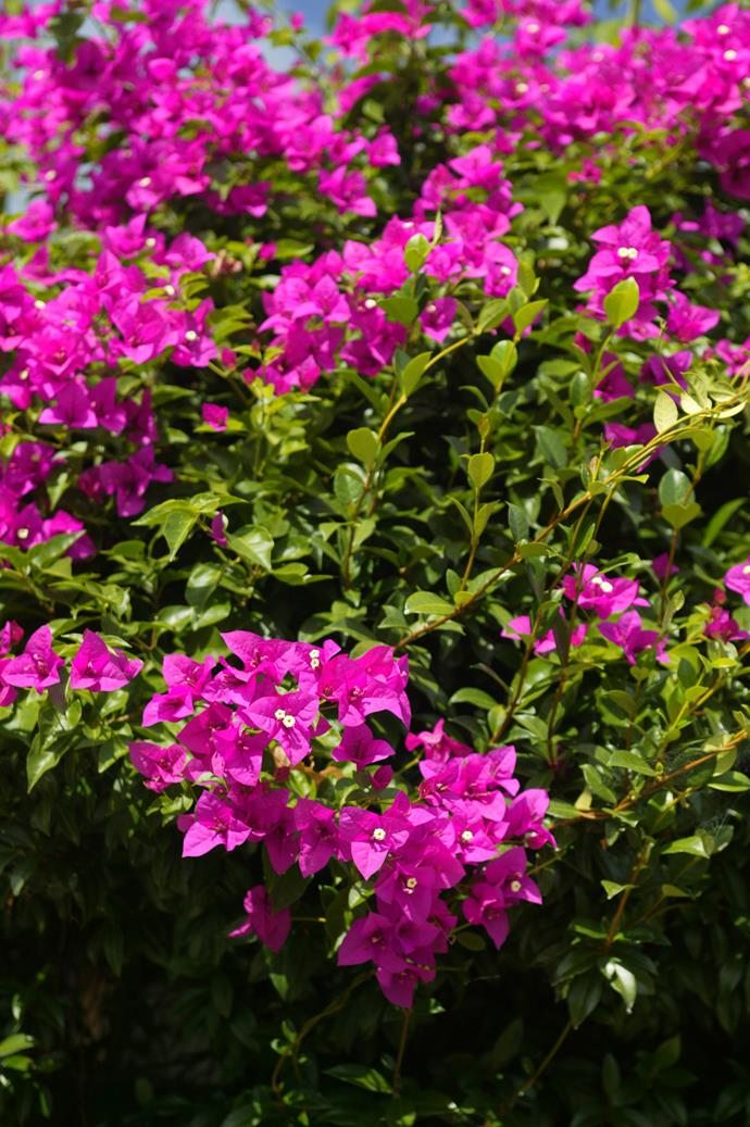 Brighten up your backyard with a magnificent magenta Bougainvillea.