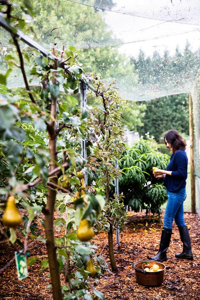 "Picking Beurre Bosc pears from espaliered trees isn't work for [Lisa Burdus](https://www.homestolove.com.au/an-interior-designers-country-retreat-5612|target=""_blank""), who uses an old brass bucket to collect them and apples. The trees are enclosed in wire mesh to keep animals out."