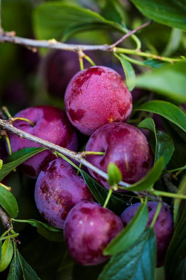 "Plump plums grow in a [cottage garden](https://www.homestolove.com.au/formal-cottage-garden-italy-5954|target=""_blank"")."