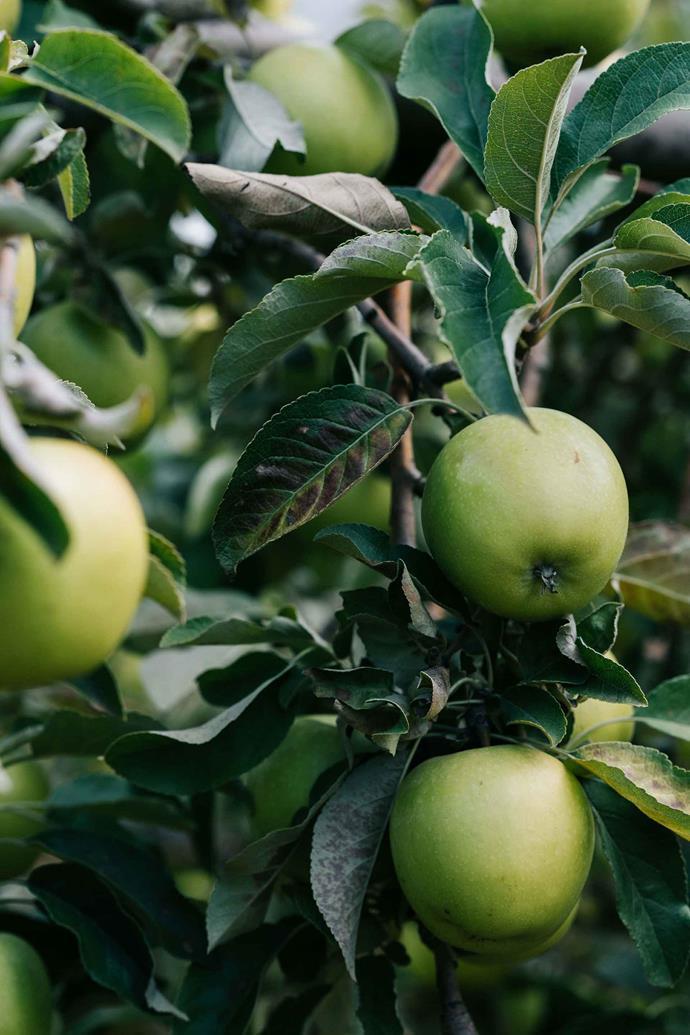 Mutsu apples.