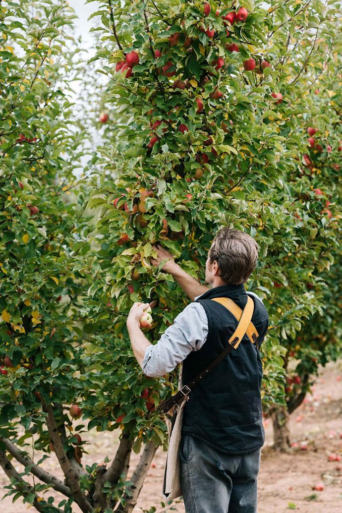 Charlie picking apples.