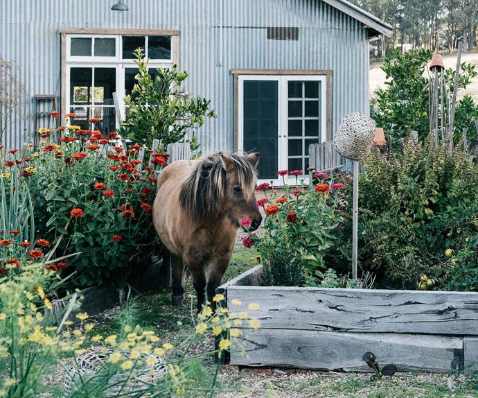 Pony standing in a vegetable garden at Black Barn Farm VIC