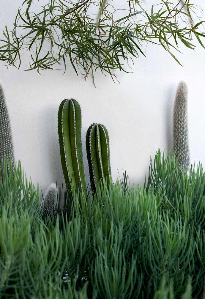 **Plant palette — Mexican Fence post Cactus (*Pachycereus marginatus*)** Their white margin makes them a good fit for the wall colour.