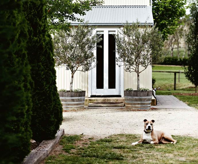 American Staffordshire in front of a converted shed home