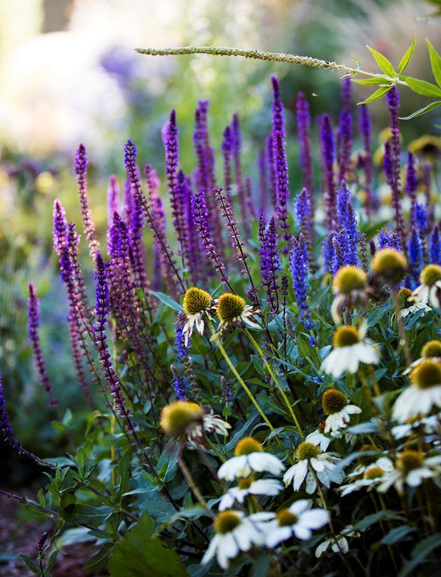 "[Salvia 'Caradonna'](https://www.homestolove.com.au/perennial-garden-nsw-19850|target=""_blank"") and white coneflower (Echinacea)."