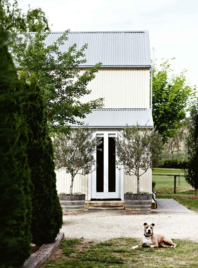 """American Staffordshire terrier Paris guards the entrance of the [converted shed](https://www.homestolove.com.au/shearing-shed-converted-into-guest-quarters-6923