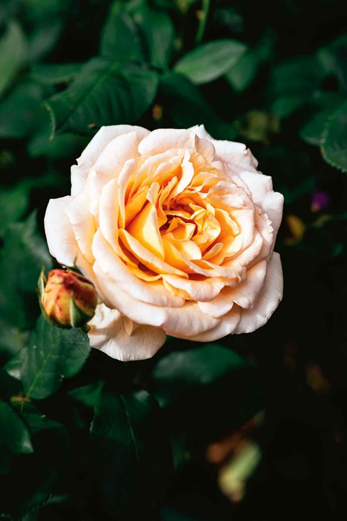 'Apricot Nectar' is a hardy rose with a soft fragrance that does well at Rockybah.