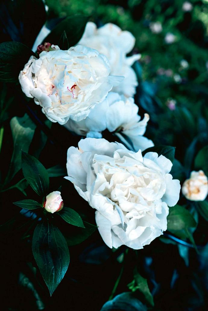 A white peony in bloom.